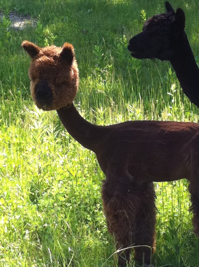 New Neighbor Baby Alpaca