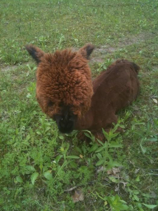 Gaga's Garden neighbor baby alpaca