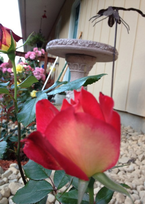 Rainbow Sorbet Rose Bud, Gagas Garden