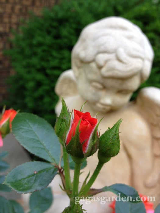 Angel & All A Twitter Rose Bud