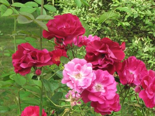 Old Garden Rose Seven Sisters