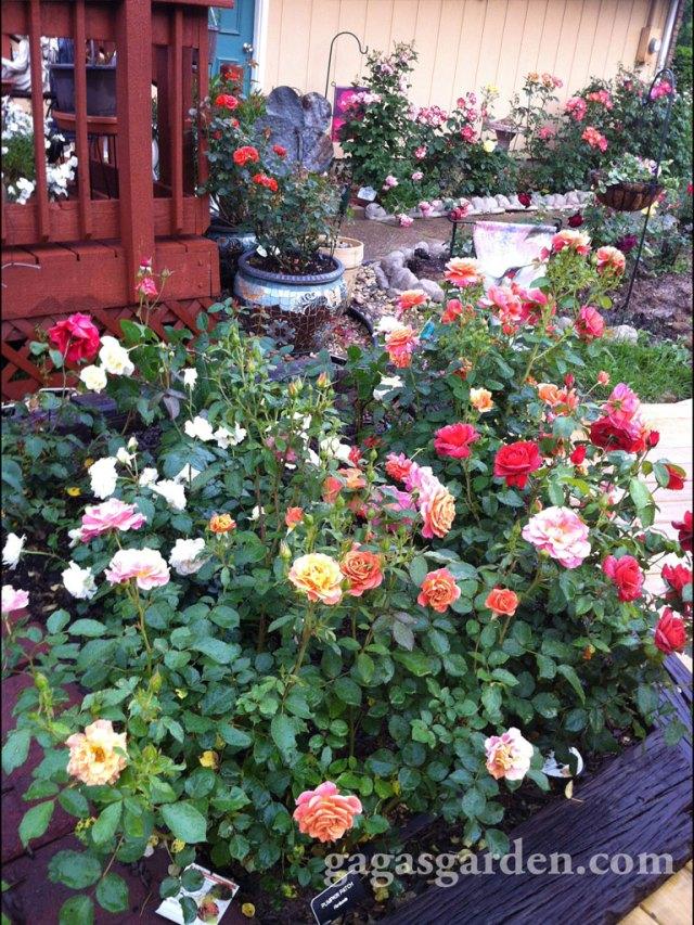 N. Elevated Rose Garden 2013
