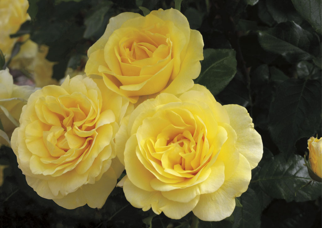 Happy Go Lucky, Grandiflora Rose, New 2014 Introduction from Weeks Roses