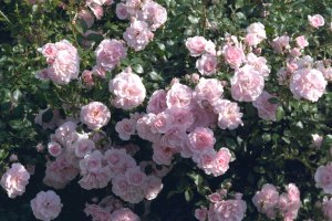 Bonica, Shrub rose always the first to bloom in the spring