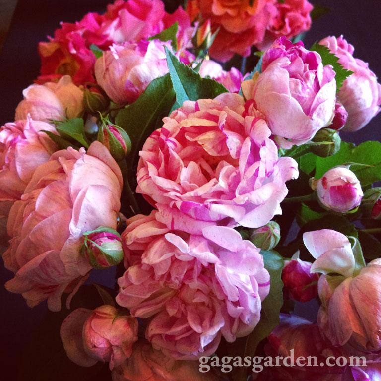 Bouquet of 'Honorine de Brabant' Best Establish Rose, A Bourban