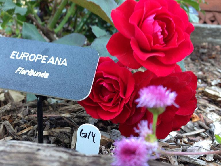 Europeana and Monarch Grande Rose (G14) by Dr. David Zlezak