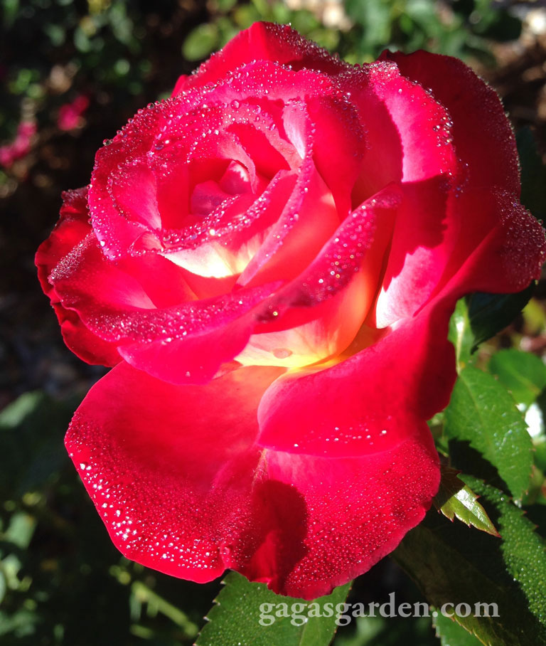 Double Delight with Morning Dew #nofilter #rosepicoftheday