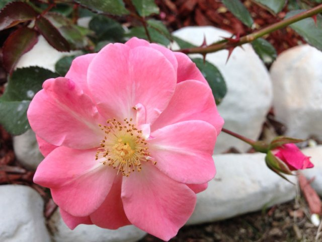Proven Winner Series Two Oso® Easy Rose 'Pink Cupcake' bred by Chris Warner, UK