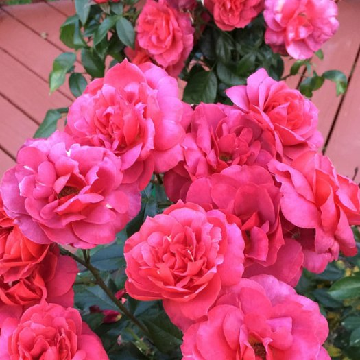 Oso Easy® Double Red Landscape Shrub