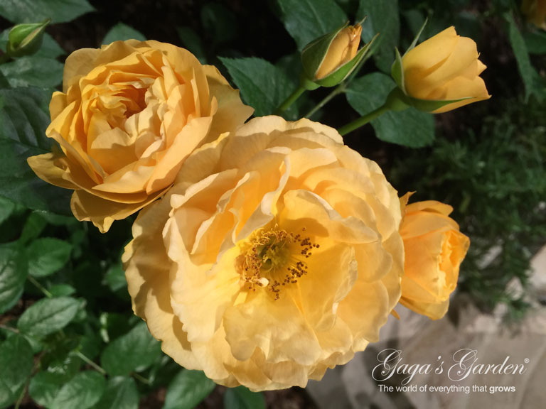 Star Roses and Plants Apricot Candy in Bloom at Chicago Flower & Garden Show in March