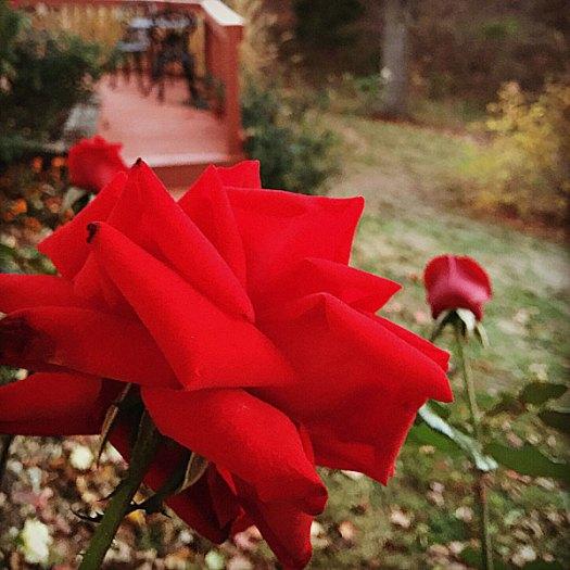 'Crimson Bouquet'