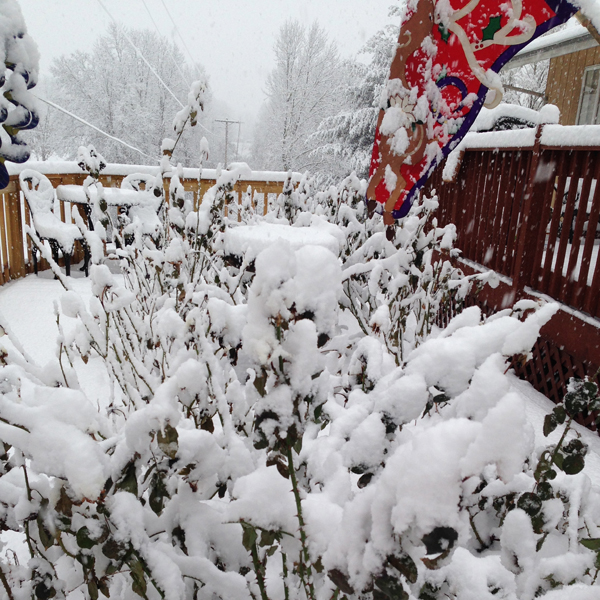 Let It Snow   Snow Provides Isolation for Roses