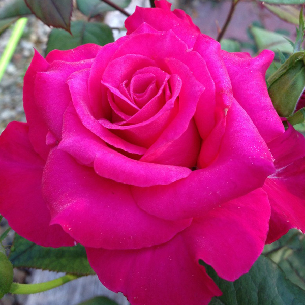 Pretty Lady Rose