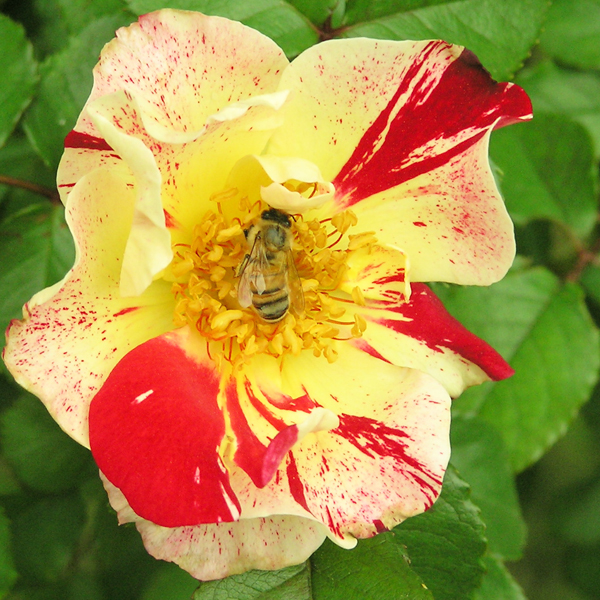 Bee on Fourth of July Climbing Rose Bush