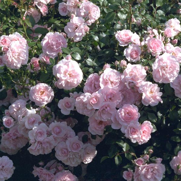 Simple Rose Garden: Roses – Gaga's Garden