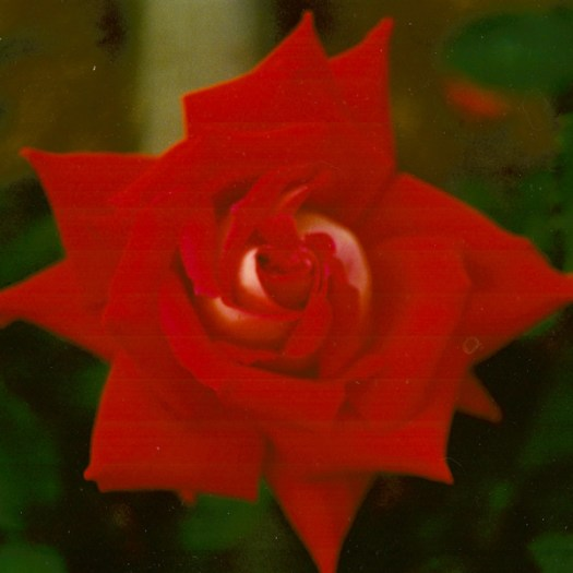 Bred by William A. Warriner (United States, before 1977). Introduced in United States by Jackson & Perkins Co. in 1980 as 'Love'. Grandiflora.