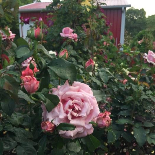 'Memorial Day' a Hybrid Tea blooming on Memorial Day Week-End 2016