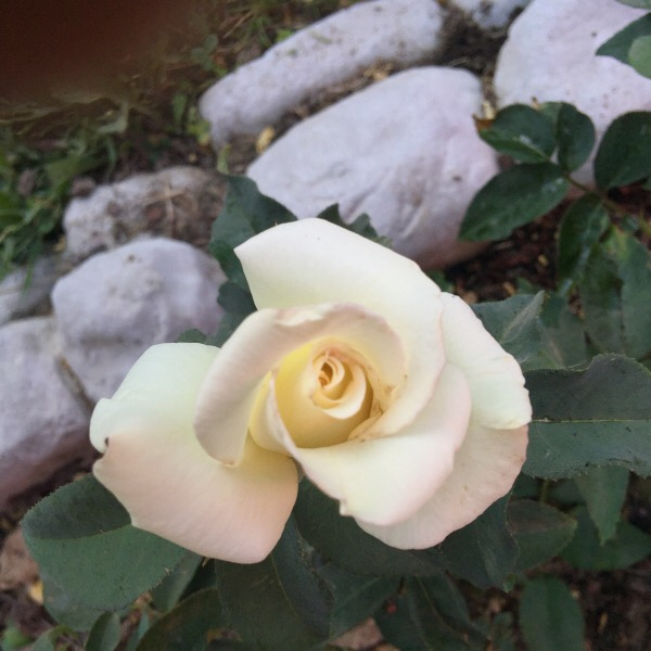 'John F. Kennedy' Planted Bare Root Rose | First Bloom in Central Illinois