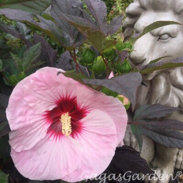 Summerific® 'Perfect Storm' - Rose Mallow - Hibiscus hybrid - perennial by Proven Winners With Lion Garden Statues Smelling The Fragrance