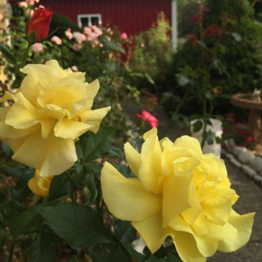 'Sunsprite' Blooming on Labor Day Week-End