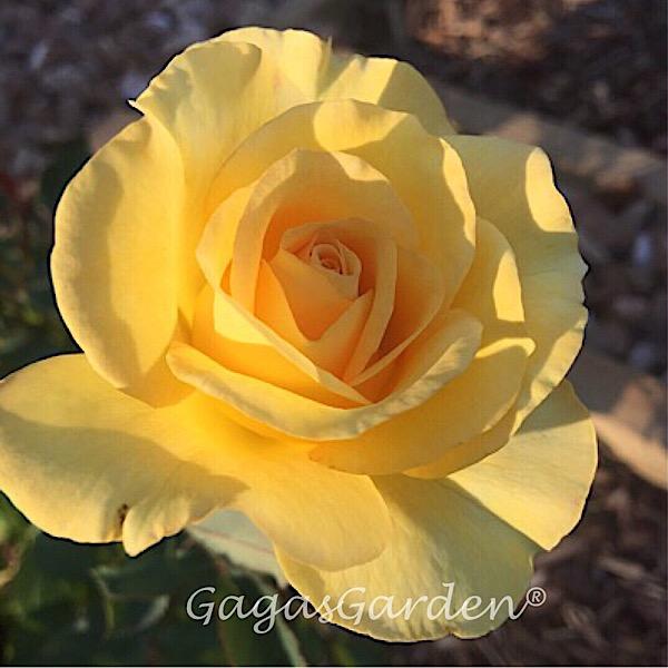 08-00941-Yellow Grandiflora