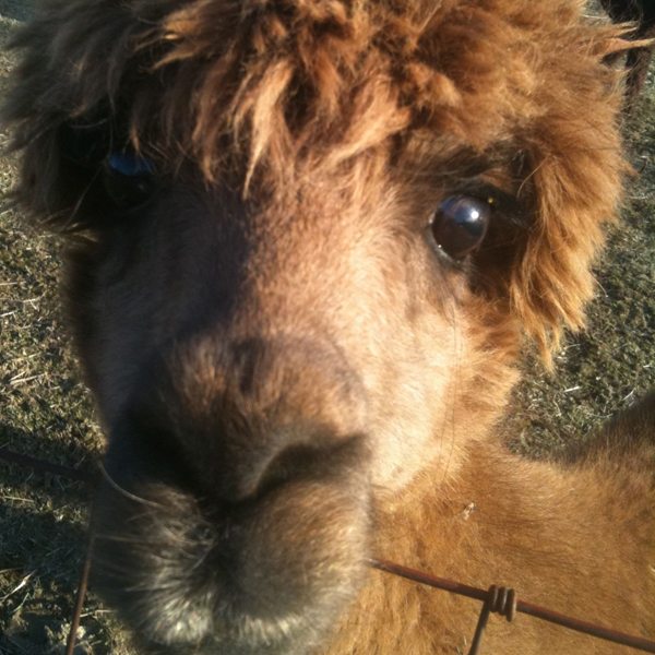 Alpaca | My New Neighbor In The Country