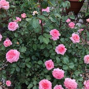 Savannah Rose Bush