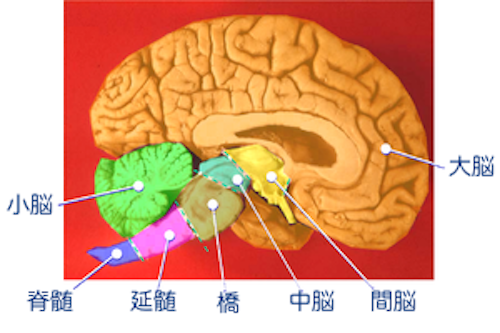 300px-Human_brain_midsagittal_cut_color