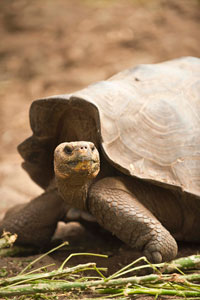 December Giant Tortoise