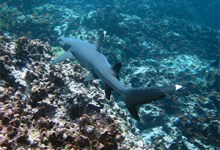tintoreras white tip shark