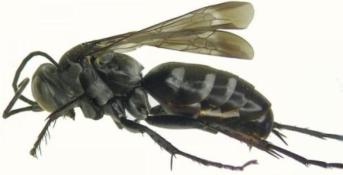The wasp species, recently discovered on Texel