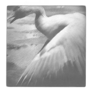 Swan, 2013. Héliogravure, 40 cm x 40 cm .