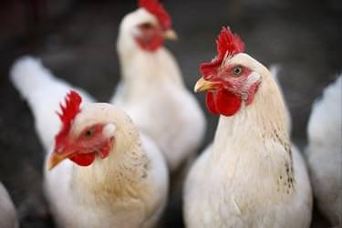 Viande de poulet