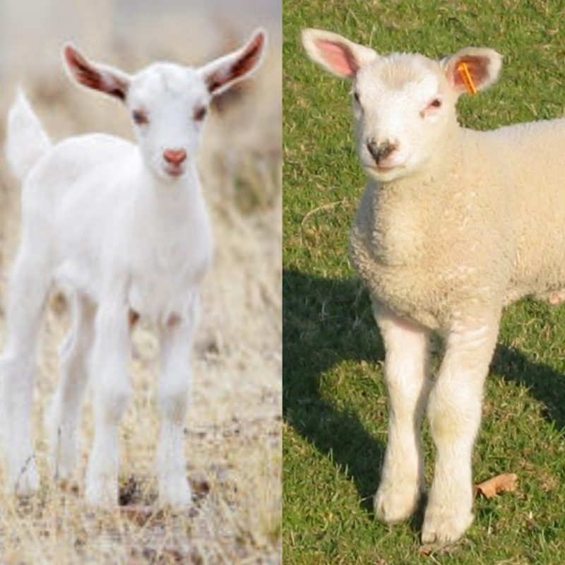 viande agneau et viande de chevreau