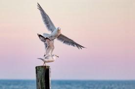 """James Correia Seagull Fun Photograph on canvas 20"""" x 30"""" $235.00"""
