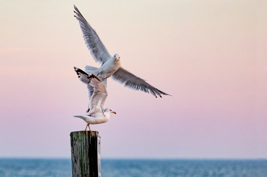 "Seagull Fun Photograph on canvas 20"" x 30"" $235.00"