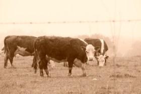 """""""Cows"""" by William Correia"""