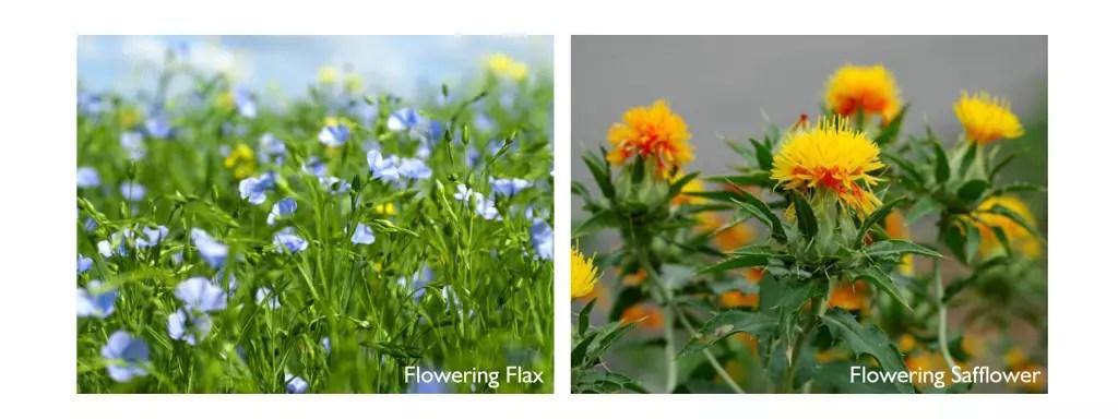 Flax seed, flax oil, safflower, safflower oil