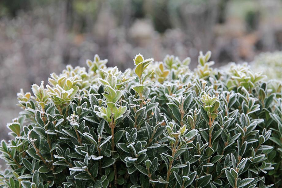 14 plantes qui ne craignent pas le gel