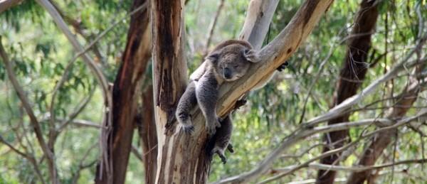 koala-288568_640