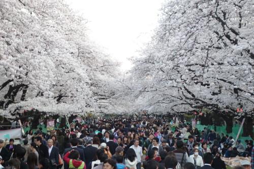 Et de nouveau les cerisiers de Ueno, extraordinaires!