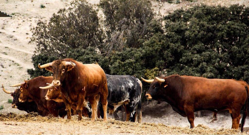 novillos cuajados pastando en la Ganadería San Isidro Villarejo de Salvanés Madrid