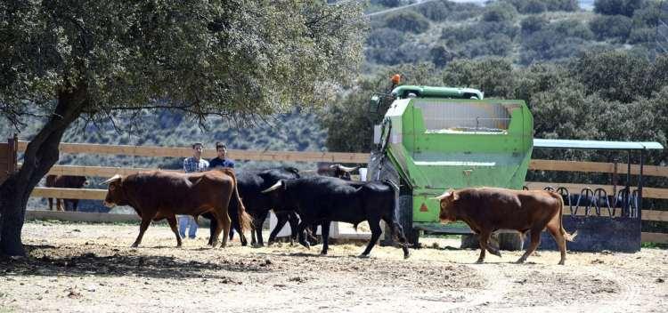 Actualmente superamos los 500 ejemplares bravos, con ocho sementales, alrededor de 160 vacas de vientre y las camadas de añojos, erales y utreros. Con este número de vacas reproductoras resultan por temporada una media de 120 becerros entre hembras y machos.