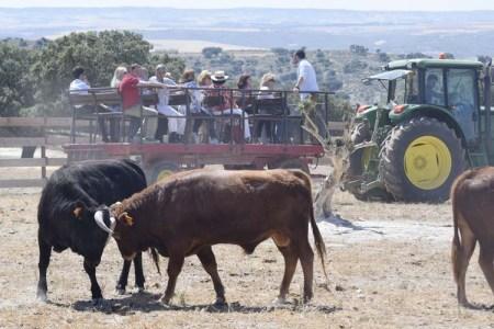 Novillos enfrentándose frente a la visita - Bulls fighting