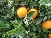 Orange Blosson Season