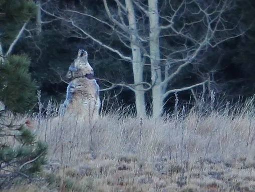 An animal seen north of Grand Canyon on Oct 27, 2014.