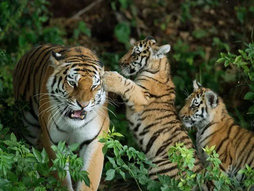 Two rare Amur Tiger cubs experience their reserve for