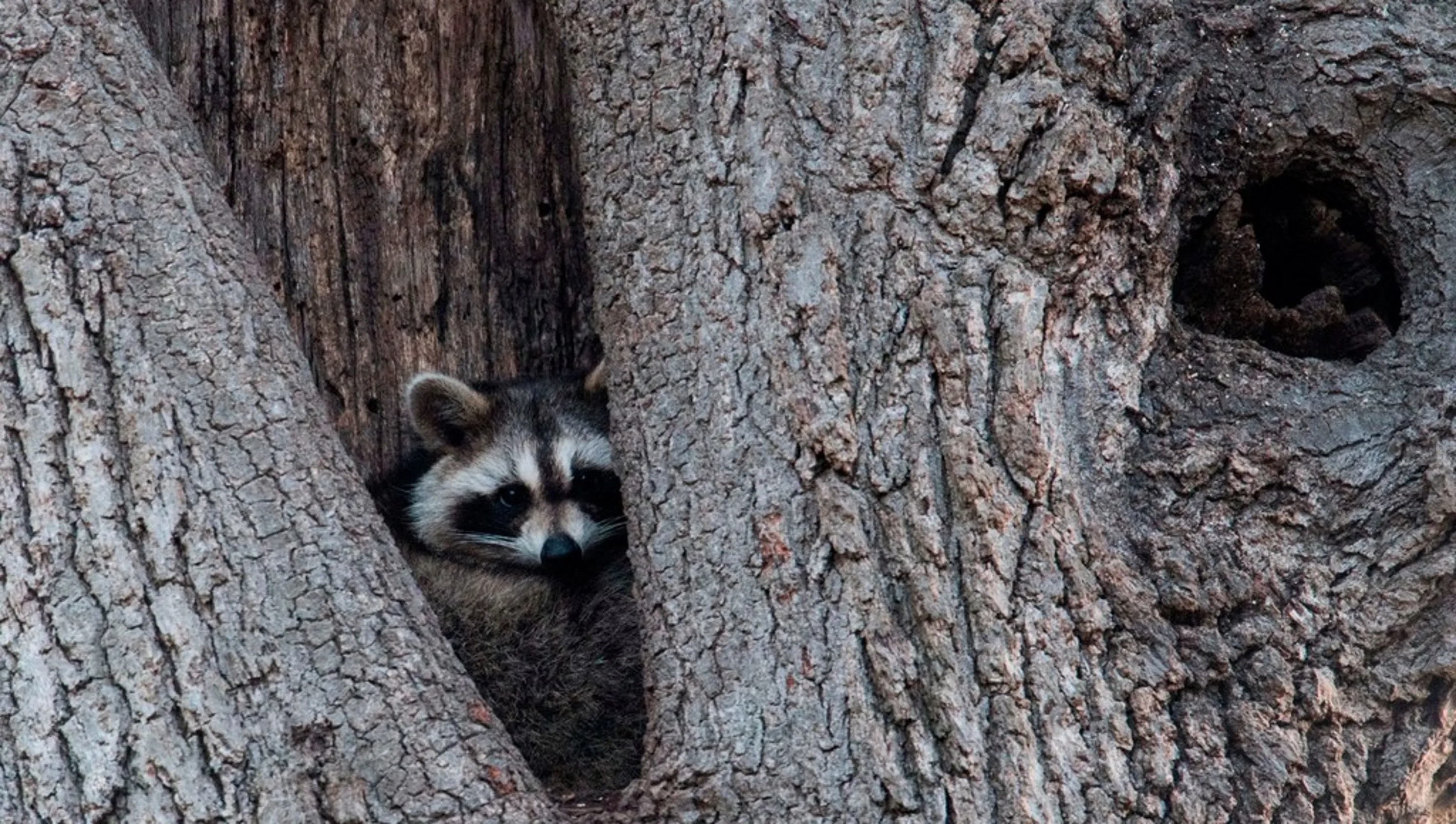 Zombie Raccoons In Ohio Police Investigate More Than A