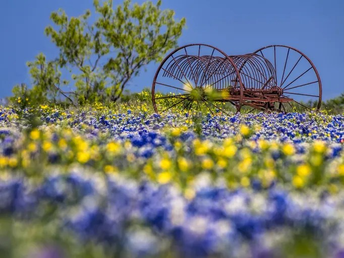 hill country texas bluebonnets