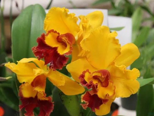 The Desert Valley Orchid Society, in association with